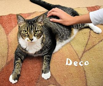 Domestic Shorthair Cat for adoption in Sarasota, Florida - Decko