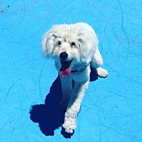 Havanese/Poodle (Miniature) Mix Dog for adoption in Milpitas, California - Ray