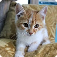 Domestic Shorthair Kitten for adoption in Portland, Maine - HARVEY