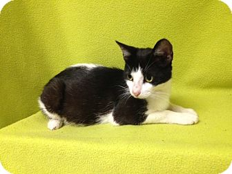 Domestic Shorthair Cat for adoption in Thomaston, Georgia - Sweets and Kittens