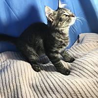 Adopt A Pet :: Calvin - Sarasota, FL