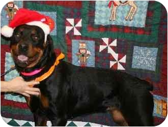 Rottweiler Mix Dog for adoption in Westbrook, Maine - Starbright
