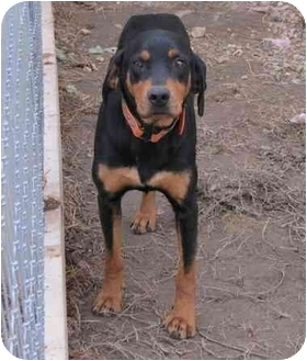 Black and Tan Coonhound Mix Dog for adoption in Lawrenceburg, Tennessee - George