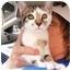 Photo 1 - American Shorthair Kitten for adoption in New York, New York - Sasha
