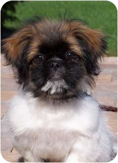 Shih Tzu Puppy for adoption in Milford, New Jersey - Sundance