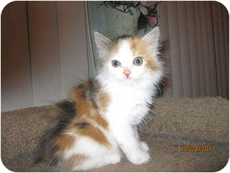 Calico Kitten for adoption in Catasauqua, Pennsylvania - Tupelo Honey