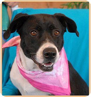 Border Collie/Labrador Retriever Mix Dog for adoption in Las Vegas, Nevada - aloha