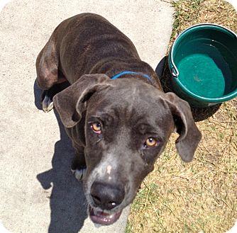 Mastiff Mix Dog for adoption in Corpus Christi, Texas - Mastiff Mix