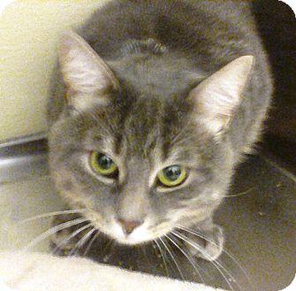 Domestic Shorthair Cat for adoption in Worcester, Massachusetts - Trevor
