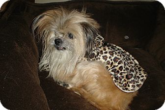 Yorkie, Yorkshire Terrier/Pomeranian Mix Dog for adoption in Rochester, Michigan - Pixie