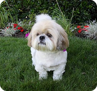 Shih Tzu Dog for adoption in Newport Beach, California - CORNELIUS