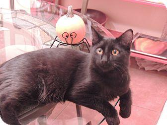 Domestic Mediumhair Kitten for adoption in Fountain Hills, Arizona - Scout