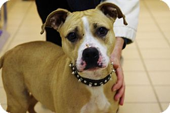Beagle/American Pit Bull Terrier Mix Dog for adoption in Elyria, Ohio - Squiggy-Prison Graduate