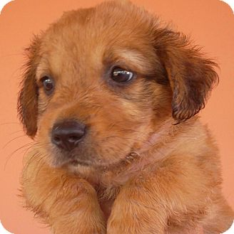Labrador Retriever/Spaniel (Unknown Type) Mix Puppy for adoption in Pennigton, New Jersey - Chispita