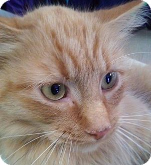 Domestic Longhair Cat for adoption in Adrian, Michigan - Buttercup