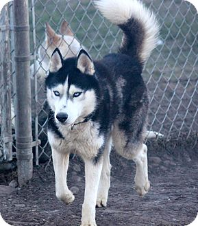Siberian Husky Dog for adoption in Sycamore, Illinois - Nemo