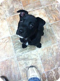 Labrador Retriever Mix Puppy for adoption in Darlington, South Carolina - Moses