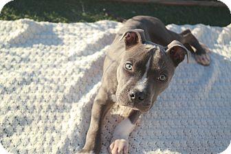 Pit Bull Terrier Mix Puppy for adoption in San Pablo, California - SANTOS