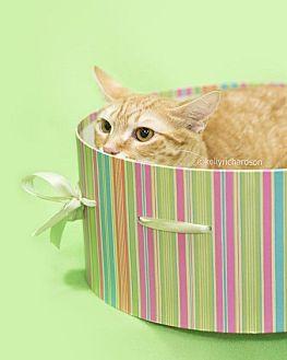 Domestic Shorthair Cat for adoption in Oviedo, Florida - Pattycakes