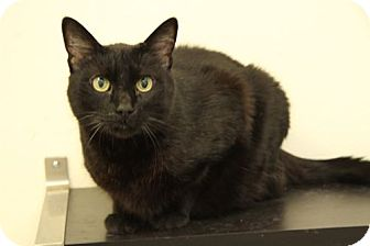Domestic Shorthair Cat for adoption in North Hollywood, California - Walker