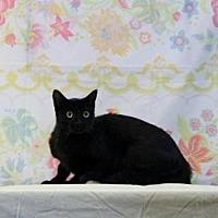 Domestic Shorthair Cat for adoption in Sebastian, Florida - Diva