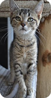 Domestic Shorthair Cat for adoption in Michigan City, Indiana - Elby