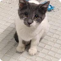 Adopt A Pet :: Adi - Brooklyn, NY