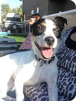 Jack Russell Terrier Dog for adoption in Edmonton, Alberta - Senay
