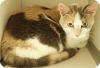 Calico Cat for adoption in Cannelton, Indiana - Paisley