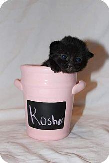 Domestic Shorthair Kitten for adoption in Fredericksburg, Virginia - Kosher