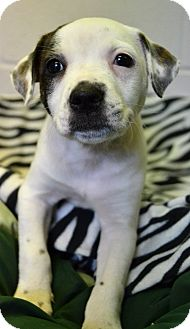 Pit Bull Terrier/Border Collie Mix Puppy for adoption in Michigan City, Indiana - Minnie