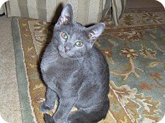 Russian Blue Cat for adoption in Buford, Georgia - Smokey