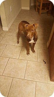 Pit Bull Terrier Mix Dog for adoption in Weatherford, Texas - Shorty