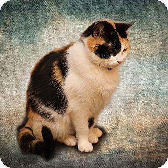 Calico Cat for adoption in Newtown, Connecticut - Calli