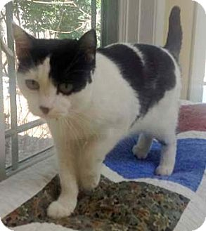 Domestic Shorthair Cat for adoption in Merrifield, Virginia - Susie