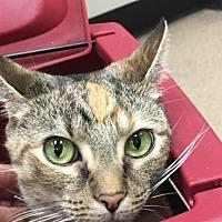 Domestic Mediumhair Cat for adoption in Louisville, Kentucky - Nala