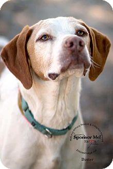 Brittany/Pointer Mix Dog for adoption in Glendale, Arizona - AZ/BUSTER