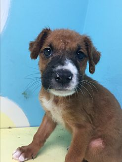 Boxer Mix Puppy for adoption in Grenada, Mississippi - Stella