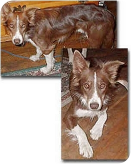 Border Collie Dog for adoption in Stephentown, New York - Clancy
