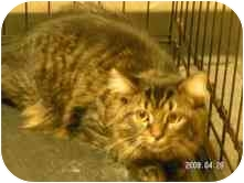 Maine Coon Cat for adoption in Arlington, Virginia - Layla