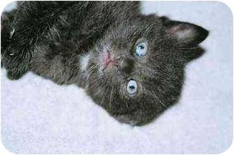 Domestic Shorthair Kitten for adoption in Vaudreuil, Quebec - Black Smoke James