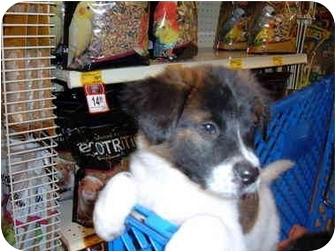Border Collie/Labrador Retriever Mix Puppy for adoption in No.Charleston, South Carolina - Piper