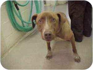 Labrador Retriever/Australian Cattle Dog Mix Dog for adoption in Gladwin, Michigan - Lab/Heeler mix