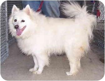Eskimo Spitz Mix Dog for adoption in Somerset, Pennsylvania - Ramsey