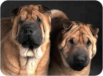 Shar Pei Dog for adoption in Chicago, Illinois - Louie & Huey
