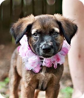 German Shepherd Dog Mix Puppy for adoption in Portsmouth, Rhode Island - Justice