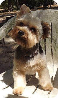 Yorkie, Yorkshire Terrier Dog for adoption in Broken Bow, Oklahoma - Shamus **adoption pending**