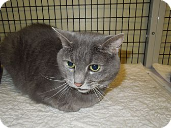Domestic Shorthair Cat for adoption in Medina, Ohio - Angel