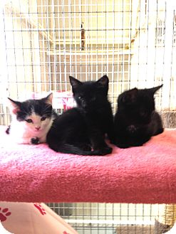 Domestic Shorthair Kitten for adoption in Medfield, Massachusetts - Molly's kittens