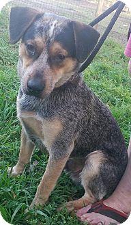 Blue Heeler/Labrador Retriever Mix Dog for adoption in Ocala, Florida - Sy